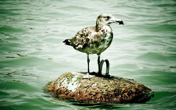 Seagull standing on a rock Kallbarri Murchison River Western Australia. Photo Drew Barrett