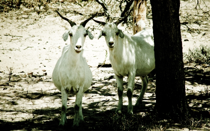 2 goats standing by a tree next to Murchison River. Photo Drew Barrett