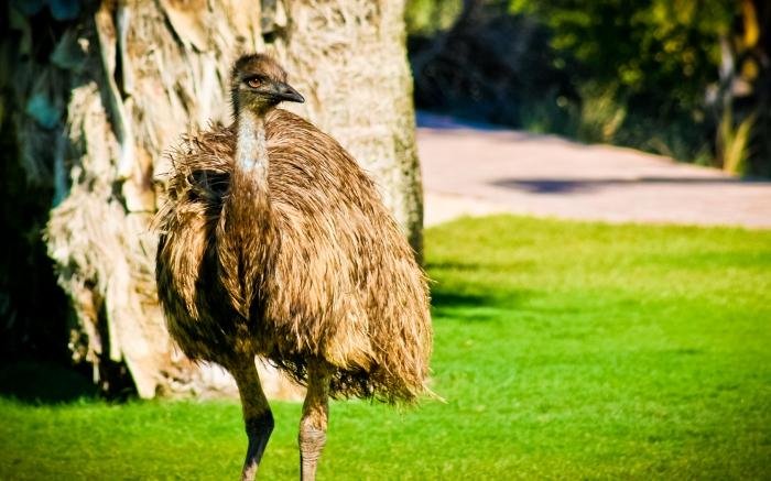 Emu at Monkey Mia, Western Australia. Photo Drew Barrett