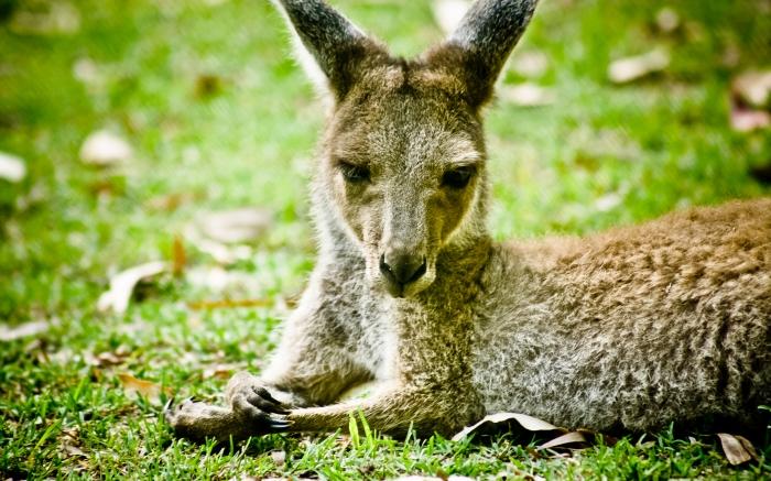 Grey Kangaroo enjoying the afternoon sun. Photo Drew Barrett