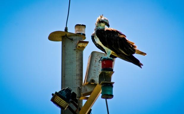 Bird of Prey, Osprey looking for lunch. Photo Drew Barrett