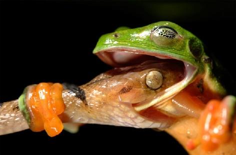 Photo by David Maitland Snake Frog