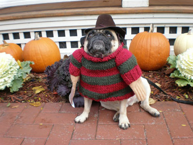 pugs-dressed-as-movie-characters-for-hal