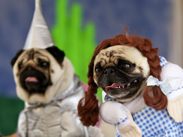 Pugs Dressed as Movie Characters for Halloween [Photos ... White Wolf Puppies