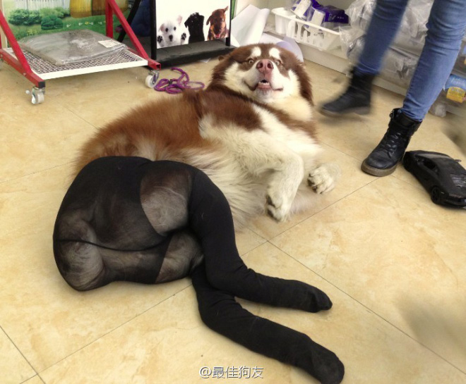 Dogs Wearing Pantyhose Latest Craze in China 01