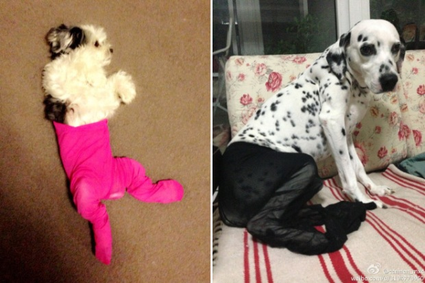 Dogs Wearing Pantyhose Latest Craze in China 03