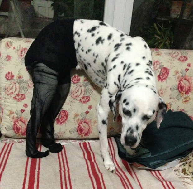 Dogs Wearing Pantyhose Latest Craze in China 04