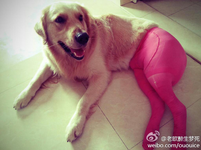 Dogs Wearing Pantyhose Latest Craze in China 06
