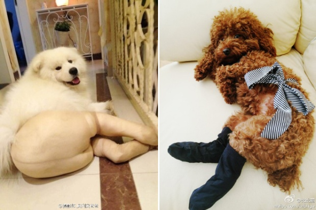 Dogs Wearing Pantyhose Latest Craze in China 07