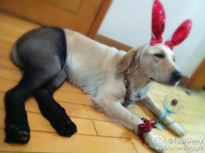 Dogs Wearing Pantyhose Latest Craze in China 10