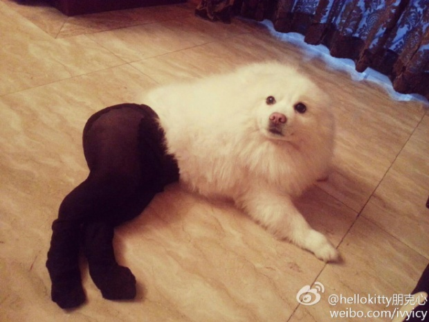 Dogs Wearing Pantyhose Latest Craze in China 11