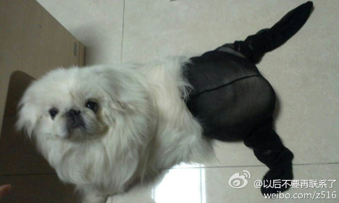Dogs Wearing Pantyhose Latest Craze in China 13