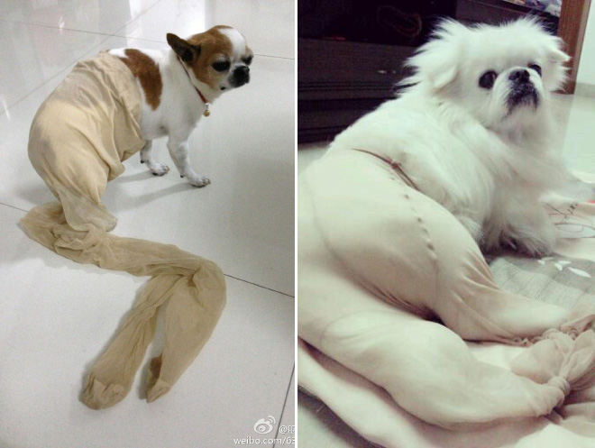 Dogs Wearing Pantyhose Latest Craze in China 15