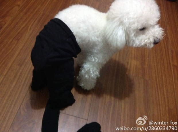 Dogs Wearing Pantyhose Latest Craze in China 16