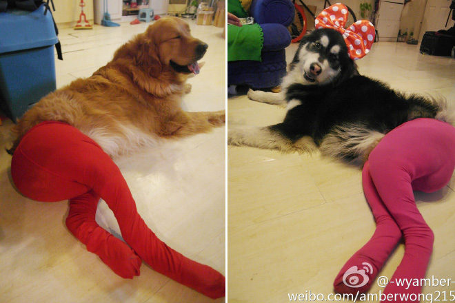 Dogs Wearing Pantyhose Latest Craze in China 17