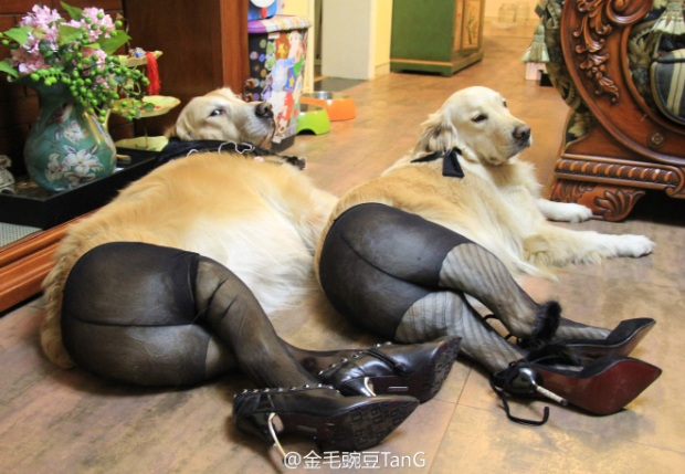 Dogs Wearing Pantyhose Latest Craze in China 18