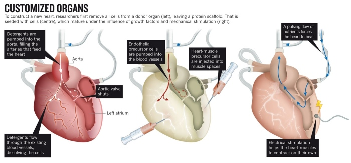 How to Grow a Human Heart [WTF Science] 2